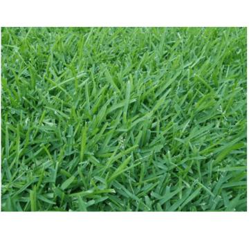 Κικούγιου-Pennisetum-Gladestinum