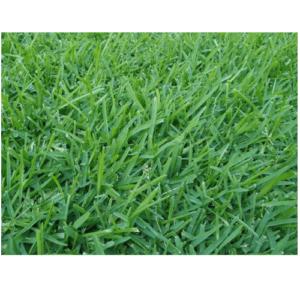 Κικούγιου-Pennisetum Gladestinum