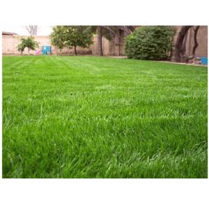 Γκάζον Ουγκάντα (Bermuda grass)