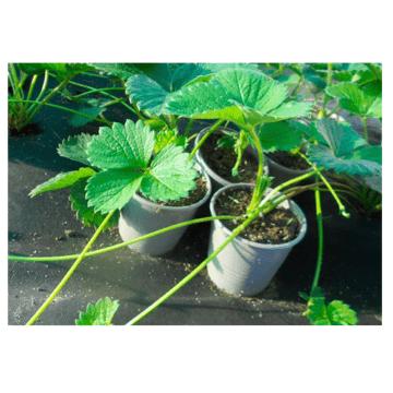 Φυτά φράουλας σε γλαστράκι 2