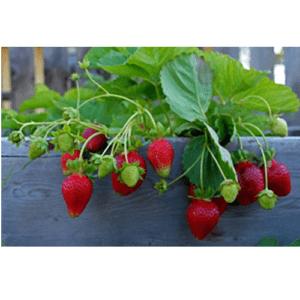Φυτά Φράουλας σε Γλαστράκι