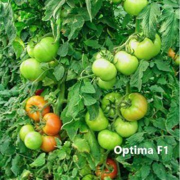 Tomato-Optima-F1-380×480